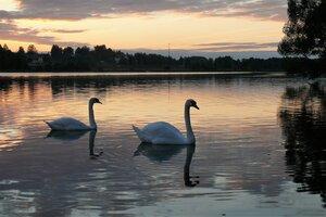 Лебеди на озере...