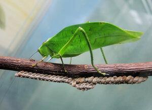 Кубинский листовидный кузнечик